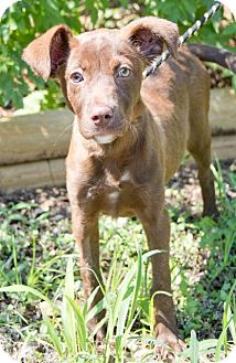 Labrador Retriever Dog for adoption in Rockport, Texas - Miracle