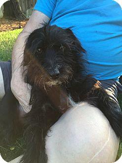 Scottie, Scottish Terrier/Wirehaired Fox Terrier Mix Dog for adoption in Modesto, California - Benny
