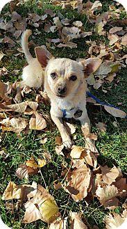 Chihuahua/Pomeranian Mix Dog for adoption in Denver, Colorado - Dexter