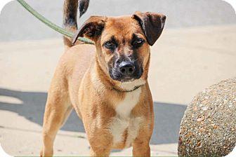 German Shepherd Dog/Husky Mix Puppy for adoption in Indianapolis, Indiana - Otis