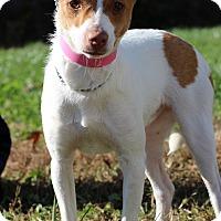 Adopt A Pet :: Belle - Waldorf, MD