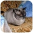 Photo 2 - Siamese Cat for adoption in Proctor, Minnesota - Bert