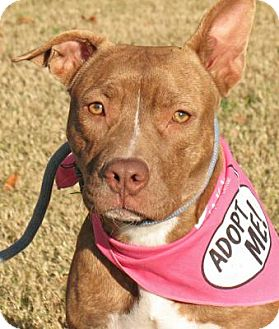 American Pit Bull Terrier/American Staffordshire Terrier Mix Dog for adoption in Raleigh, North Carolina - Stella