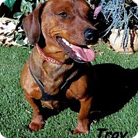 Adopt A Pet :: Troy - Chandler, AZ