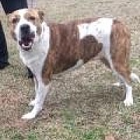 Adopt A Pet :: Bella - Summerville, SC