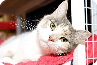 Domestic Shorthair Cat for adoption in Whitehall, Pennsylvania - Ella