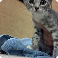 Adopt A Pet :: OPAL-PetsMart Kitty - Scottsdale, AZ