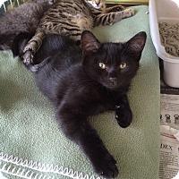 Adopt A Pet :: Evie - Island Park, NY