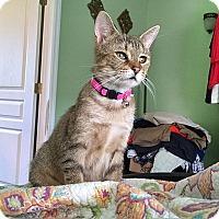 Domestic Shorthair Cat for adoption in Tampa, Florida - Pumpkin