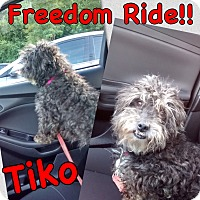 Adopt A Pet :: Tiko - Millersville, MD