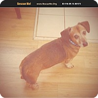 Dachshund Dog for adoption in Madison, Tennessee - Rusty - cuddly