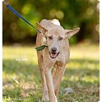 Adopt A Pet :: Glory -15 StPete Fl - Lithia, FL