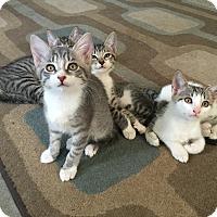 Adopt A Pet :: Kit Kat - Jacksonville, FL