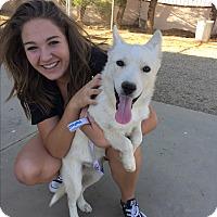 Adopt A Pet :: Snowball - Studio City, CA