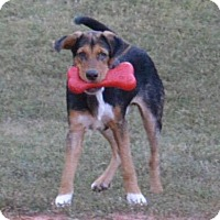 Beagle Mix Puppy for adoption in Allentown, New Jersey - Austin