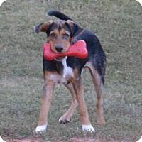 Beagle Mix Puppy for adoption in Allentown, New Jersey - Austin