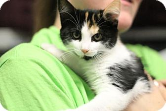 Domestic Shorthair Kitten for adoption in Lawrenceville, New Jersey - Sophia