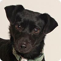 Adopt A Pet :: Vivio - Walnut Creek, CA