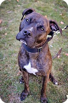 Pit Bull Terrier Mix Dog for adoption in Mansfield, Massachusetts - Austin