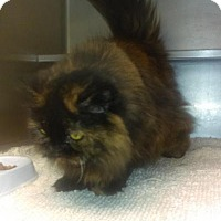 Persian Cat for adoption in South Haven, Michigan - Ariana