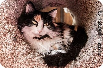 Calico Cat for adoption in Byron Center, Michigan - Persephone