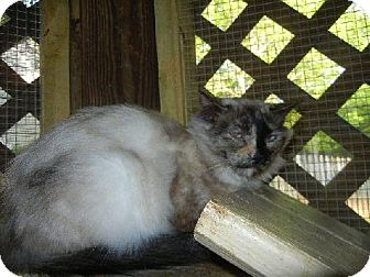 Siamese Cat for adoption in Powder Springs, Georgia - JOSIE