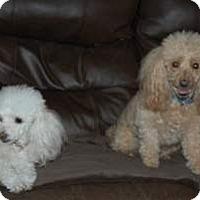 Adopt A Pet :: Buffy - Shawnee Mission, KS