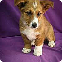 Adopt A Pet :: Tundra - Broomfield, CO