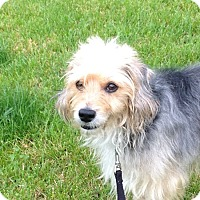 Adopt A Pet :: Benny - Schaumburg, IL