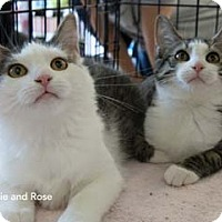 Adopt A Pet :: Rose - Merrifield, VA