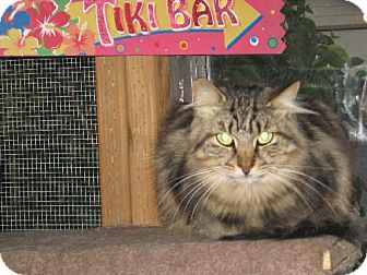 Domestic Mediumhair Cat for adoption in Coos Bay, Oregon - Sushi