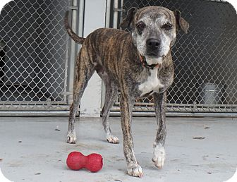 Catahoula Leopard Dog/Boxer Mix Dog for adoption in Seguin, Texas - Grace