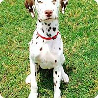 Adopt A Pet :: Ziggy meet me 4/1 - Manchester, CT