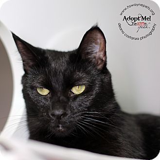 Domestic Shorthair Cat for adoption in Lyons, New York - Samantha