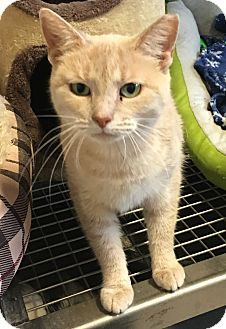 Domestic Shorthair Cat for adoption in Loogootee, Indiana - Gi-Gi