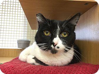 Domestic Shorthair Cat for adoption in Arlington/Ft Worth, Texas - Rachel