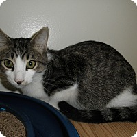 Domestic Shorthair Kitten for adoption in Milwaukee, Wisconsin - Crescendo