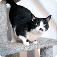 Domestic Shorthair Cat for adoption in Columbus, Ohio - Lucille