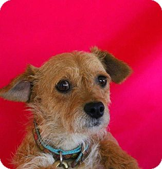 Dachshund Mix Dog for adoption in Crosbyton, Texas - Daisy