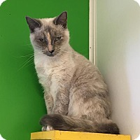 Siamese Cat for adoption in McKenzie, Tennessee - Opal
