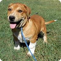 Basset Hound/Labrador Retriever Mix Puppy for adoption in Allentown, New Jersey - Mickey