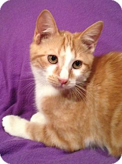 Domestic Shorthair Kitten for adoption in Houston, Texas - Fussy (adorable!)