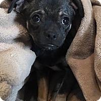Adopt A Pet :: Abra's pup Flareon - Tucson, AZ