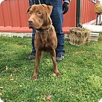 Adopt A Pet :: Cooper - Downingtown, PA