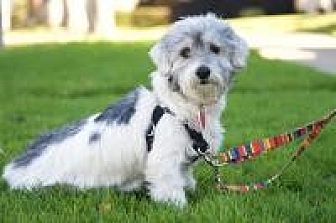 Poodle (Miniature)/Terrier (Unknown Type, Small) Mix Dog for adoption in Van Nuys, California - Lulu