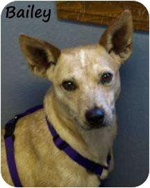 rat terrier australian cattle dog mix dora adopted dog 13585508 divide co rat terrier 5019