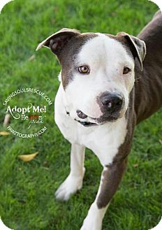 American Staffordshire Terrier Mix Dog for adoption in Scottsdale, Arizona - Harvey