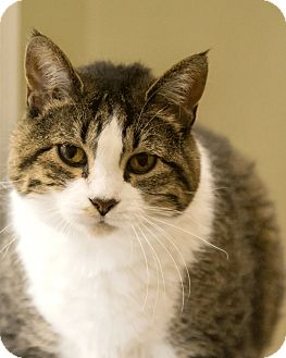 Domestic Shorthair Cat for adoption in Alden, Iowa - Dru