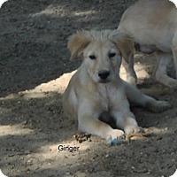 Adopt A Pet :: Ginger Adoption pending - East Hartford, CT
