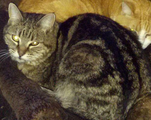 Domestic Shorthair Cat for adoption in Pasadena, California - Togo